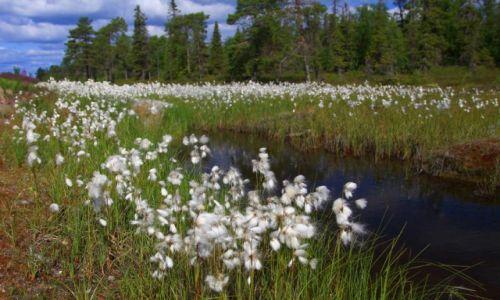 Zdjęcie ROSJA / płn-zach Rosja / Karelia / Te roślinki mówią...uwaga - bagno.