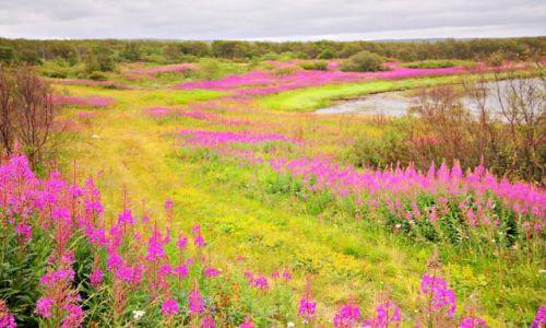 Zdjęcie ROSJA / płn-zach Rosja / wybrzeże M. Barentsa / Tundra latem