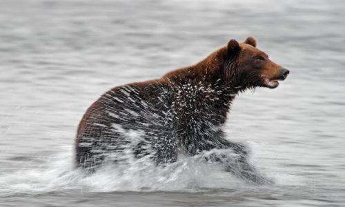 ROSJA / Kamczatka / Rzeka Opala / Grizzly goniący łososie