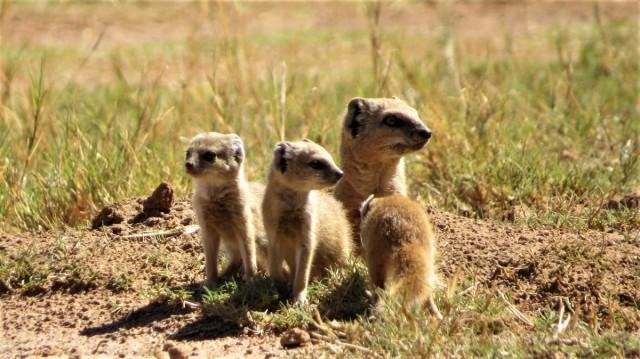 Zdjęcia: Barberspan Bird Sanctuary, NW Afryka, Mangusolisek afrykański, RPA