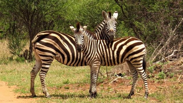 Zdjęcia: Dinokeng Game Reserve, Zebry stepowe, RPA