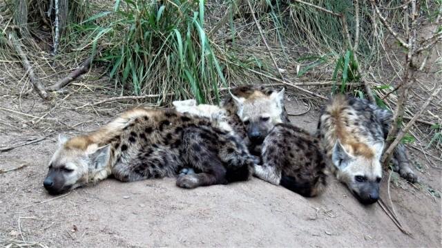 Zdjęcia: PN Krugera, Hieny cętkowane, RPA