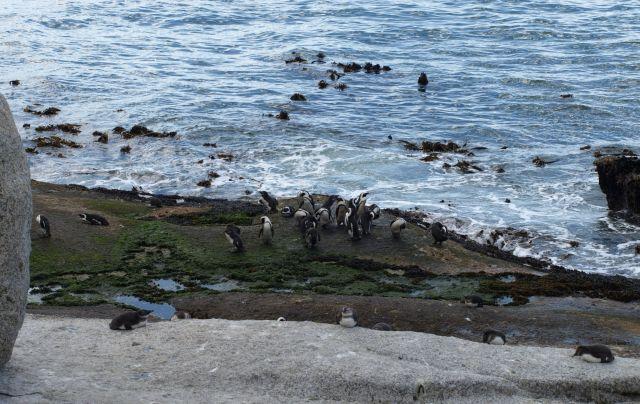 Zdjęcia: Cape Town, koniec świata, ..ulubiona przez czarne ssaki..., RPA