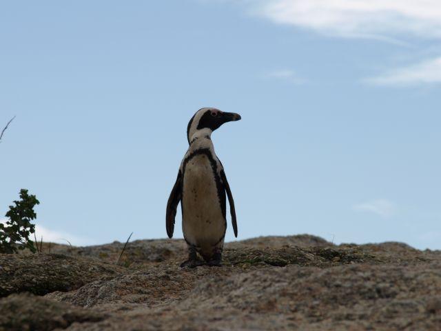 Zdjęcia: Cape Town, koniec świata, ..dostojnie paradujące..., RPA