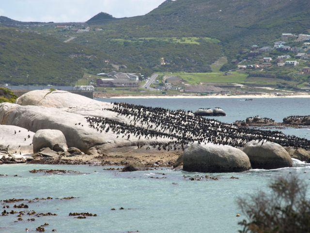 Zdjęcia: Cape Town, koniec świata, ..albo stadem.., RPA
