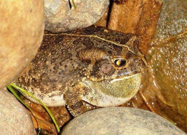 RPA / Drakensberg / Inkhaza Lodge / dla ziutam - żabka afrykańska - i już okrągła :)))