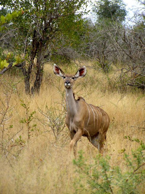 Zdjęcia: Kruger National Park, antylopa Niala, RPA