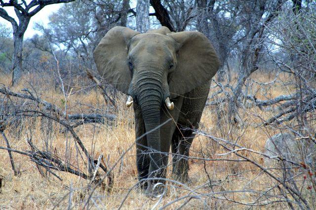Zdjęcia: Kruger Park, Słoń, RPA