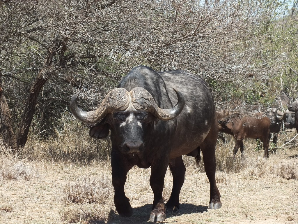 Zdjęcia: Park Krugera, Bawół, RPA