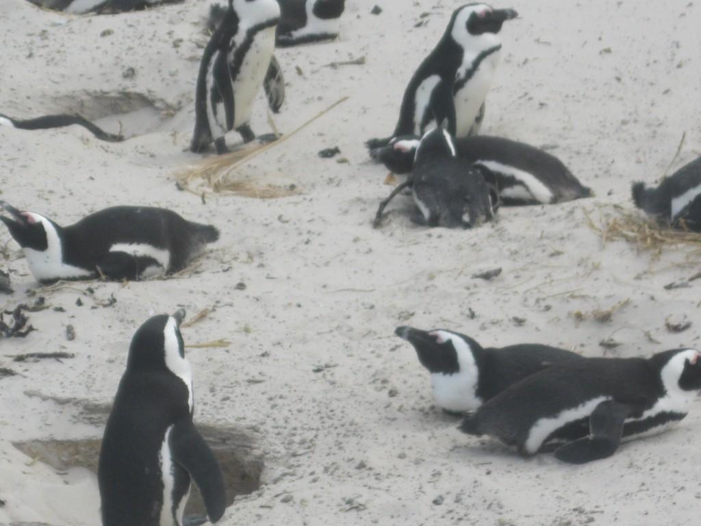 Zdjęcia: RPA - Przylądek Dobrej Nadziei, RPA - Przylądek Dobrej  Nadziei, Kolonia pingwinów, RPA