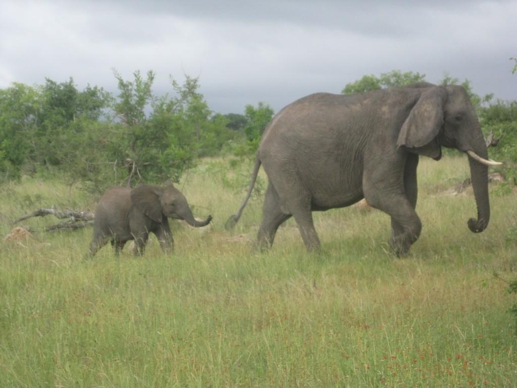 Zdjęcia: Park Narodowy Krugera - RPA, Park Narodowy Krugera - RPA, Park Narodowy  Słonie  RPA, RPA