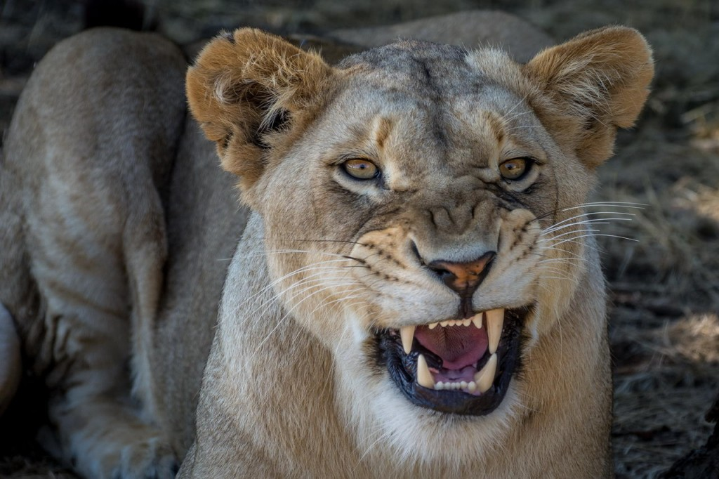 Zdjęcia: lion par, Mpumalanga, Mam zły dzień ... nie prowokuj, RPA