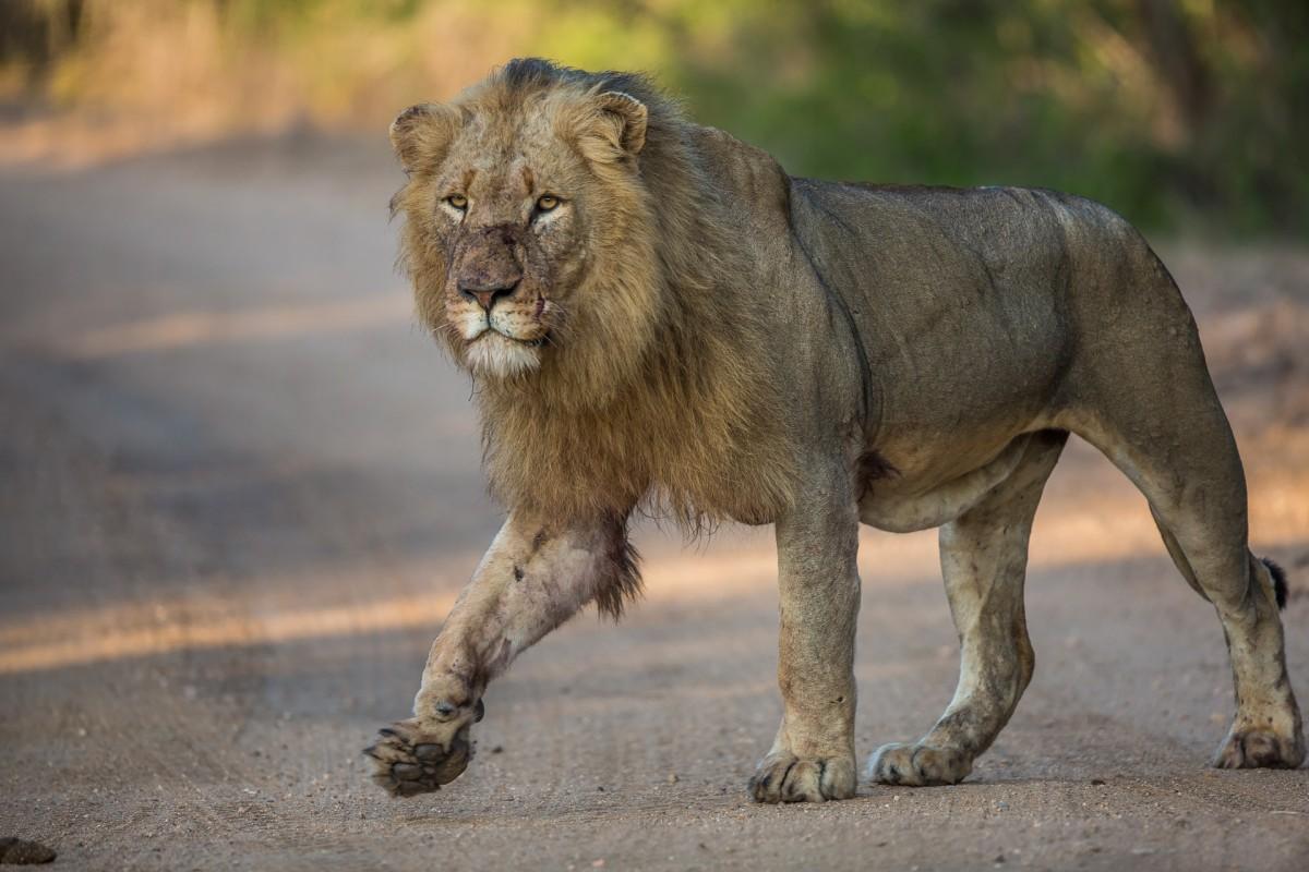 Zdjęcia: Hamiltons Camp, Kruger National Park, Król o poranku, RPA