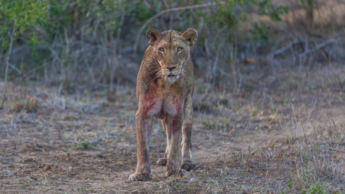 Zdjęcia: Hamiltons Camp, Kruger National Park, Lwica po bawole, RPA