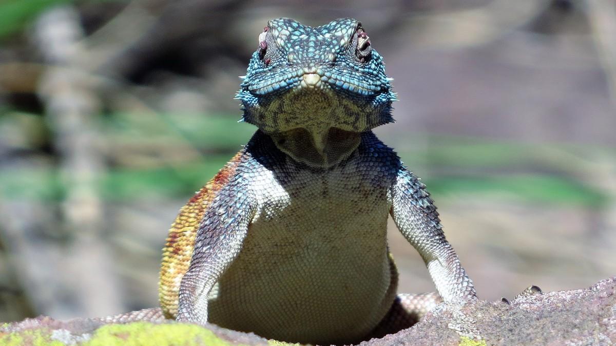 Zdjęcia: Rezerwat Telperion, Agama, RPA