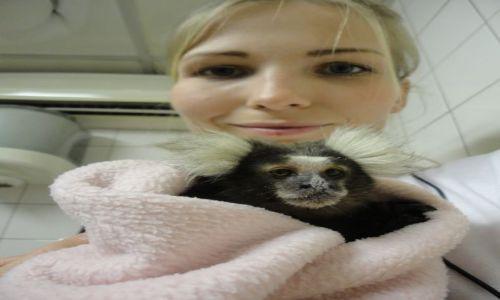 Zdjecie RPA / - / Pretoria / pacjent kliniki w Pretorii - marmozeta białoczuba