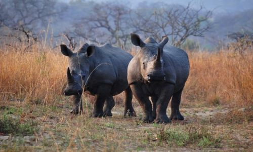 Zdjecie RPA / - / Park Krugera / Nosorożce białe