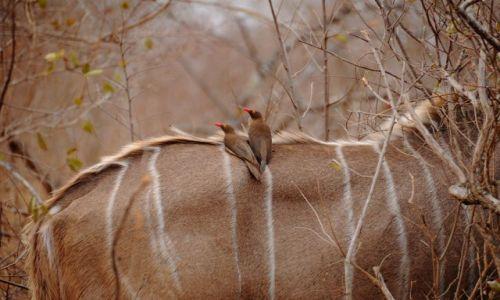 Zdjęcie RPA / - / Park Krugera / Bąkojady czerwonodziobe