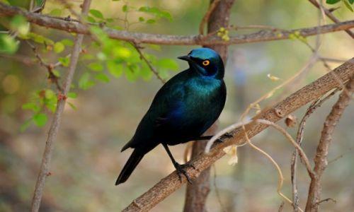 Zdjęcie RPA / - / Park Krugera / Błyszczak