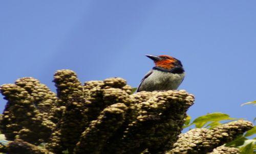 Zdjęcie RPA / Gauteng / Ogród Botaniczny / Wąsal  Obrożny