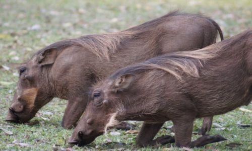 Zdjęcie RPA / Mpumalanga / Park Krugera / Wypas guźców