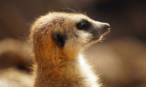 Zdjecie RPA / Gauteng / Krugersdorp Game Reserve / Surykatka