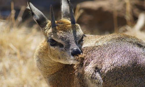 Zdjęcie RPA / Gauteng / Krugersdorp Game Reserve / Koziołek skalny