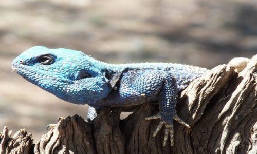 Zdjecie RPA / - / Park Krugera / Gekon