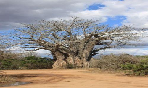 Zdjecie RPA / Park Krugera / - / Baobab