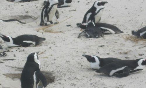 Zdjęcie RPA / RPA - Przylądek Dobrej  Nadziei / RPA - Przylądek Dobrej Nadziei / Kolonia pingwinów