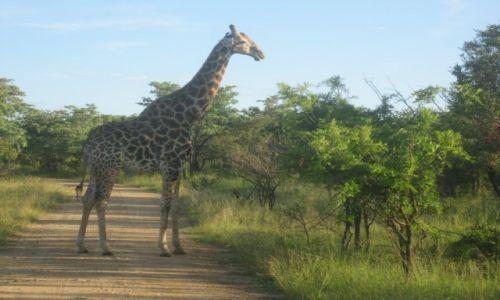 Zdjęcie RPA / Park Narodowy Krugera - RPA / Park Narodowy Krugera - RPA / Park Narodowy  RPA  Żyrafa