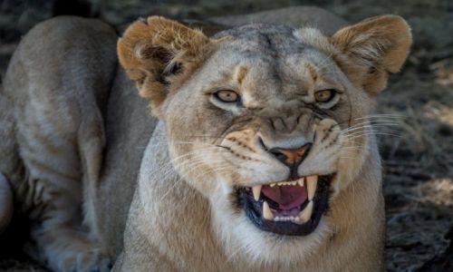 Zdjęcie RPA / Mpumalanga / lion par / Mam zły dzień ... nie prowokuj