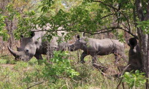 Zdjecie RPA / Park Krugera / Nosorożec biały / Mama, tata i ja