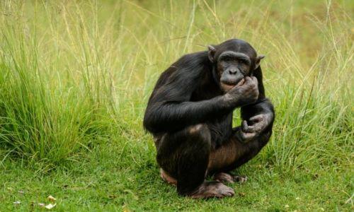 Zdjęcie RPA / Mpumalanga / JANE GOODALL INSTITUTE / ZWIERZETA AFRYKI - SZYMPANSY