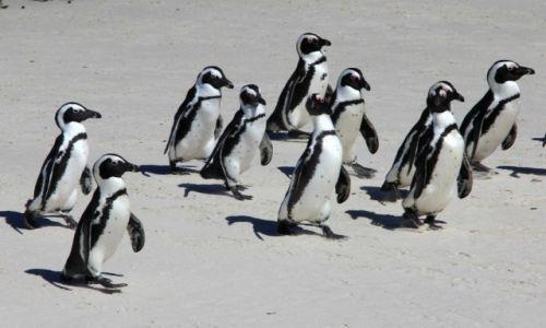 Zdjecie RPA / Kraj Przylądkowy / Boulders Beach / Idziemy chłopaki