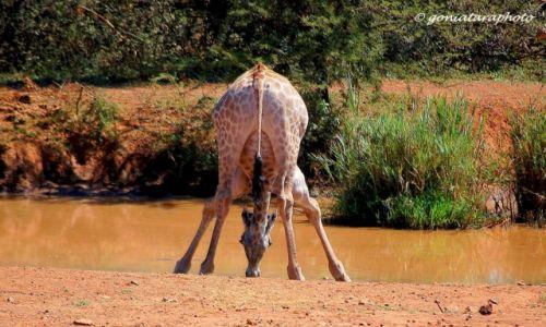 Zdjecie RPA / North West / Pilanesberg National Park / Idealne wyważenie pionu.