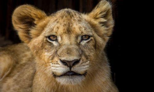 Zdjecie RPA / MPUMALNAGA / LION PAR / Kiedyś będę duży...