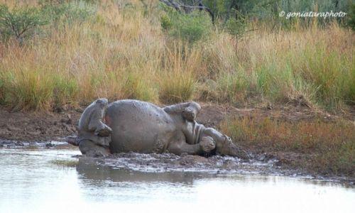 Zdjęcie RPA / North West / Pilanesberg National Park / Błotna kąpiel na styl afrykański.