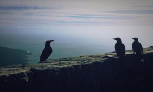 Zdjęcie RPA / cape town / gory stolowe / ptaki