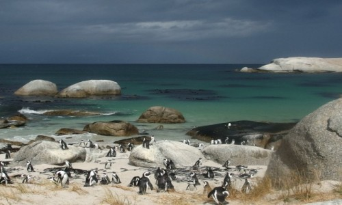 Zdjecie RPA / - / simonstand / pingwinki afrykańskie