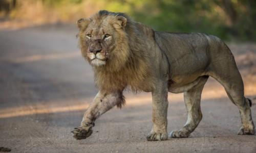 Zdjecie RPA / Kruger National Park / Hamiltons Camp / Król o poranku