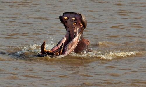 Zdjecie RPA / - / RPA / Hipopotam