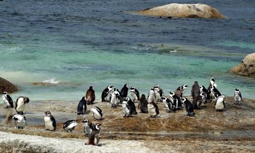 Zdjecie RPA / Przylądek Dobrej Nadziei / RPA / Pingwiny afrykańskie