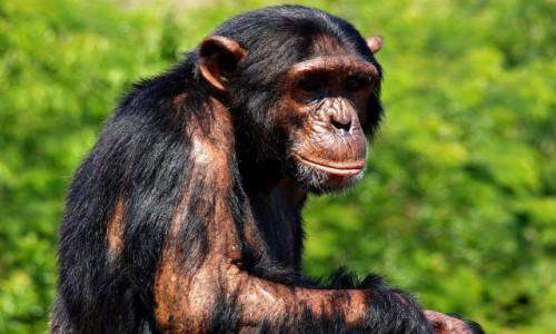 Zdjecie RPA / - / Nelspruit / Szympans