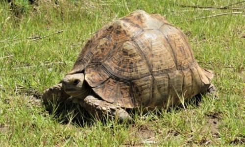 RPA / NW Afryka / Barberspan Bird Sanctuary / Żółw lamparci