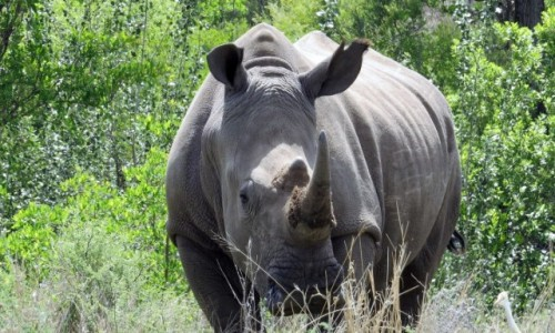 RPA / - / Dinokeng Game Reserve / Nosorożec biały