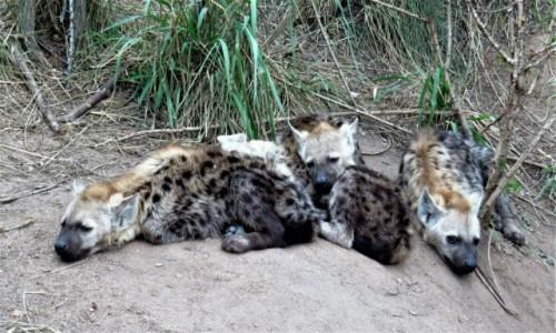RPA / - / PN Krugera / Hieny cętkowane