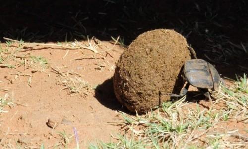 Zdjecie RPA / - / Rezerwat Telperion / Żuk gnojowy