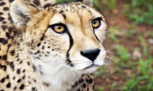 Zdjecie RPA / RPA / RPA / Gepard