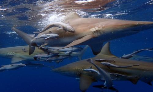 Zdjecie RPA / RPA / RPA / Nurkowanie z rekinami